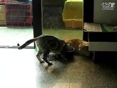 短脚猫mojo与美国短毛猫的相处视频!