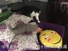 猫片 - 短腿蓝猫囧囧